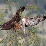 Red-tail hawks fighting.