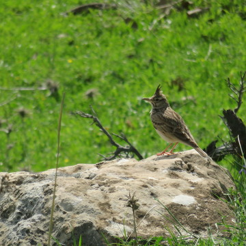 Birds of Northern Iraq