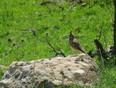 Birds of Northern Iraq - Northern Iraq