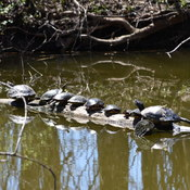 turtles enjoying sunshine !