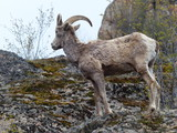 Big horn sheep - Grand Forks, BC