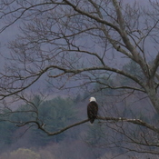 Bald Eagle in the Early Morning
