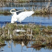 Trumpeter Swans Courting