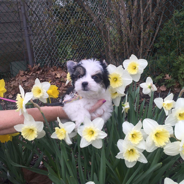 Spring, daffodils and puppies