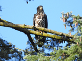 Young eagle  - Victoria, BC, CA