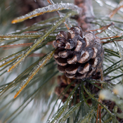 Frozen Pinecone