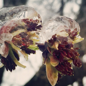 Beautiful icy buds