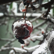 Icy crab apple