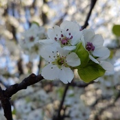 blooming ornamental pear tree
