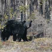 Mr.black bear