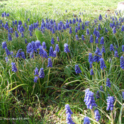 Plenty of Muscari this year!
