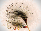 Pussywillow in seed - Kimberley, BC
