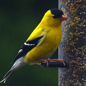 Goldfinches At My Feeder