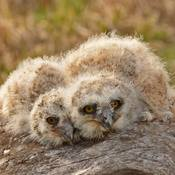 3-Week Old Baby Great-Horned Owlets