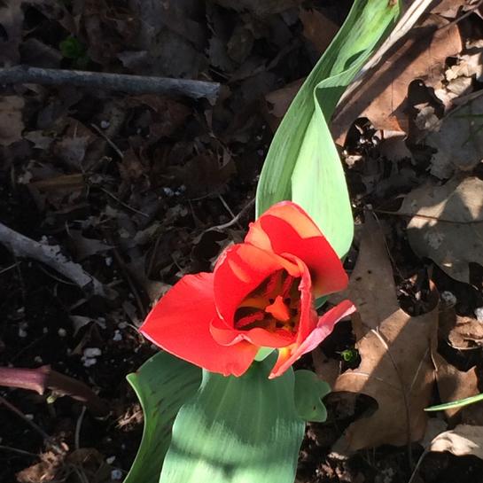 🌷 tulipe Dunham, Québec, CA