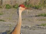 Sandhill Crane - Burnaby, BC