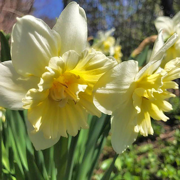 Eye-catching Creamy White Daffodils