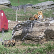 Fox with Kits