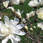 Magnolia's in Bloom