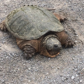 Snapping turtle side of the road