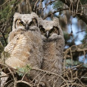 Snuggling Owlets
