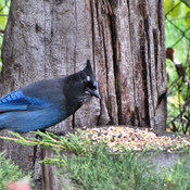 Mr. BlueJay