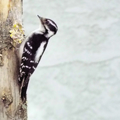 A Downey Woodpecker