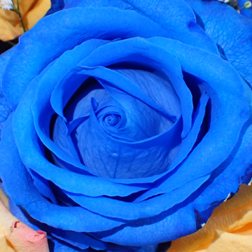Birthday Blue Roses