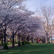 Cherry blossoms in bloom.