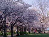 Cherry blossoms in bloom. - Burlington, ON