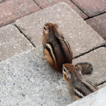 A pair of young chipmunks