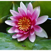Water Lilly or Lotus Flower