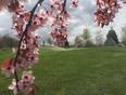 Spring finally arriving  - Pitt Meadows, British Columbia, CA