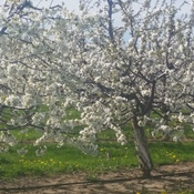 Blooming Cherries