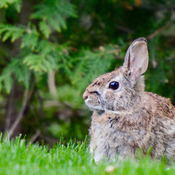 Bunny in backyard