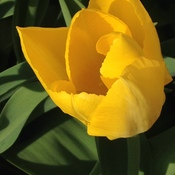 This yellow tulip looks very luxurious!