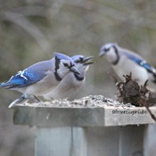 It's Blue Jay time again!