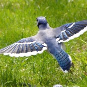 Blue Jay landing at feeder