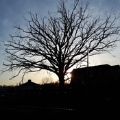 Oak tree silhouette at dusk
