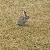 Rabbit in the yard