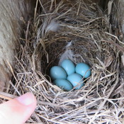 soon to be 5 little bluebirds