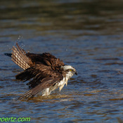 Osprey Evening Dip