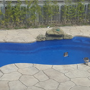 Geese in Richmond Hill backyard pool
