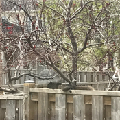 Squirrel enjoying April noontime siesta!!