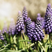 Enchanting Muscari.....