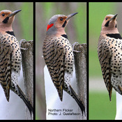 3 poses of a Northern Flicker