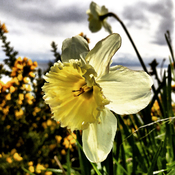 Daffodil on the cliffs of Beacon Hill Park, Victoria BC
