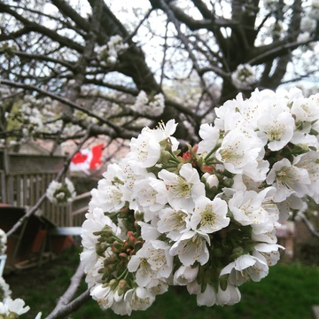 Canadian Pride Shines on a dull day through the cherry blossoms