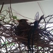 Female cardinal in nest at our front door