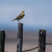measow lark singing away in the prairies